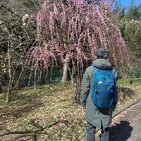 春の兆し梅とサーバルキャット - 人生満喫中 ~ヨガとわんこ(シュナウザー)、その他いろいろ~