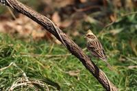 ミヤマホオジロのメス - 野鳥公園