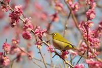 メジロと梅の花 - かたくち鰯の写真日記2