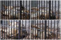 野毛山動物園2020年2月15日インドライオン - お散歩ふぉと2