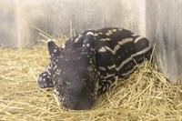 マレーバクの赤ちゃん「カナエ」(多摩動物公園) - 続々・動物園ありマス。
