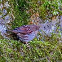 林道のカヤクグリHNR - シエロの野鳥観察記録