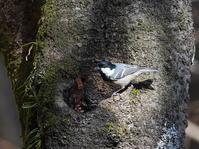 林道の木の洞に集まるヒガラHNR - シエロの野鳥観察記録