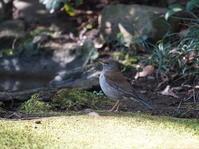 続都立公園の人馴れしたシロハラHGO - シエロの野鳥観察記録