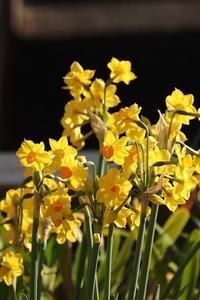足立区綾瀬界隈に咲く水仙に感激して。 - 一場の写真 / 足立区リフォーム館・頑張る会社ブログ