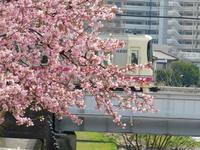早咲きの桜が咲き始めました@調布 - SEのための心理相談室