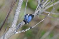 ヤクシマルリシジミ低温期型♀ - Lycaenidaeの蝶鳥撮影日記