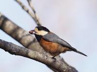 舞岡公園のヤマガラ - コーヒー党の野鳥と自然パート3