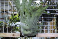 Platycerium grande - PlantsCade -2nd effort
