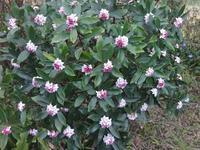 沈丁花 - だんご虫の花