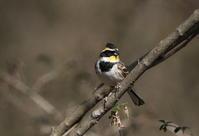 ミヤマホオジロ(今シーズン初見初撮り) - 私の鳥撮り散歩