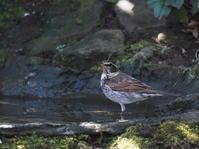 都立公園の水場で水浴びのツグミHGO - シエロの野鳥観察記録