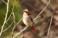 今季あたり鳥のヒレンジャクさん - なんでもブログ2