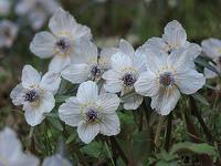 再びセツブンソウ - 清治の花便り