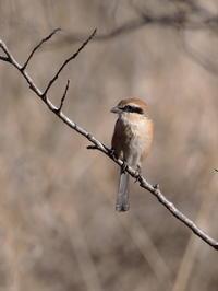 公園にいたモズ♂君 - コーヒー党の野鳥と自然パート3