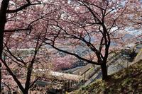 満開の午後まつだ桜まつり4 - 鴉の独りごと