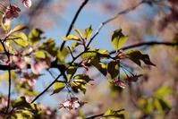 EVFを使ってみたまつだ桜まつり5 - 鴉の独りごと