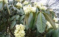 イギリス・コーンウォールの春の花、モクレン、シャクナゲ、ツバキ、ライラック - ブルーベルの森-ブログ-英国のハンドメイド陶器と雑貨の通販