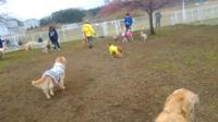 もろやまオフ会②~ドッグラン大放牧!嬉しいとみんな弾けるのね。 - 子豚たちの反乱 2  ~保護犬たちの幸せさがし~