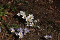 高崎市染料植物園(3) クロッカス (2020/2/20撮影) - toshiさんのお気楽ブログ