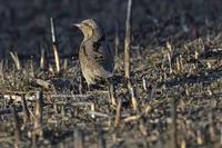 荒野の異形のクネクネ鳥 - Olive Drab