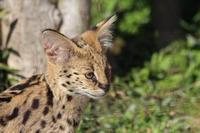 サーバルっ仔とシャモアのお食事風景(多摩動物公園 March 2019) - 続々・動物園ありマス。