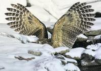 シマフクロウ - くまさんの二人で鳥撮り