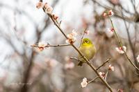 うめじろーさん - Berry's Bird