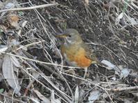 アカハラ、アオジ、カシラダカ他@舞岡公園 - 青爺の野鳥日記