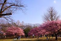 河津桜に会いたくて☆代々木公園 - さんじゃらっと☆blog2