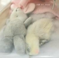 ウコッケイのヒヨコ - 烏骨鶏かわいいブログ