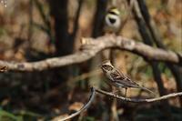 目に入らなかったミヤマホオジロのオス - 野鳥公園