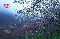 2020年の梅(その18) - ジージーライダーの自然彩彩