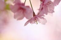 桜の季節 - ecocoro日和
