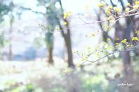 サンシュユ咲くころ - jumhina biyori*