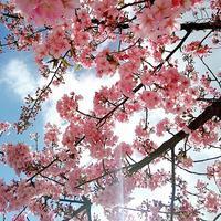 桜が。。。!!!!! - 尾道アジアンゲストハウス ビュウホテルセイザン&タイ国料理タンタワン