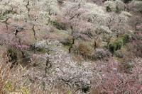 東日本で一番美しい枝垂れ梅が咲く庭園(掛川市・龍尾神社) - 旅プラスの日記