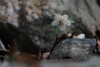 春の妖精-セツブンソウー - いのち煌めいて