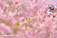 にわか鉄 『三浦海岸 桜まつり2020』 - 写愛館