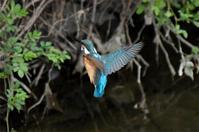 カワセミ・・小雨の中低空ホバリング - 阪南カワセミ【野鳥と自然の物語】