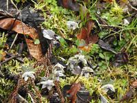 『雨の日の節分草(セツブンソウ)』 - 自然風の自然風だより