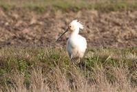 ヘラサギ - くろせの鳥