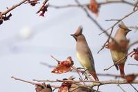 ヒレンジャク - くろせの鳥