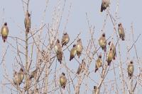 キレンジャク - くろせの鳥