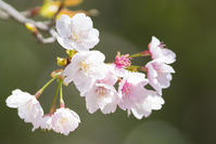 鎌倉・鶴岡八幡宮の早咲き桜 - エーデルワイスPhoto