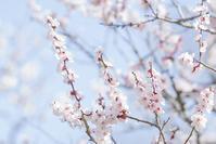 北鎌倉・東慶寺の梅・円覚寺の梅 - エーデルワイスPhoto