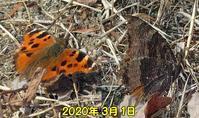 ヒオドシチョウ覚醒 - 秩父の蝶