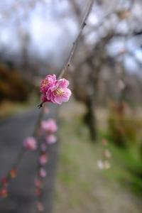 梅の花 - くろやぎと花子