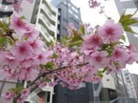 渋谷の河津桜で、一足先に春を感じる - イタリアワインのこころ