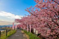 朝比奈川沿いのカワヅザクラ ② - やきつべふぉと